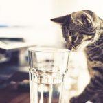 Что делать, чтобы избежать обезвоживания у кошки?